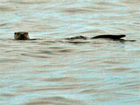 Otter in the river Ness