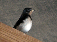 Swallow Brood